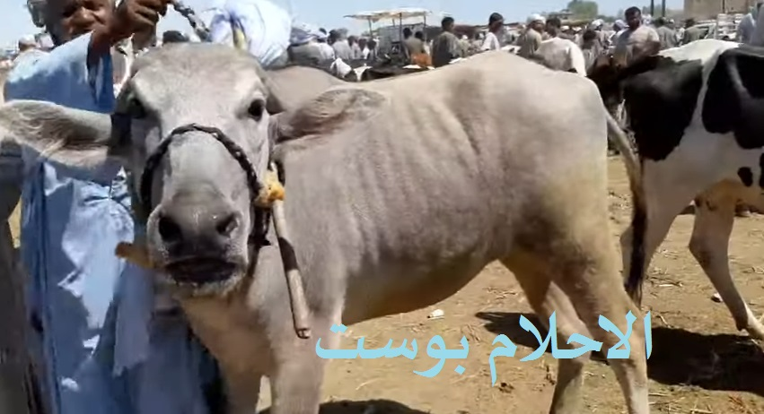 حلم البقرة