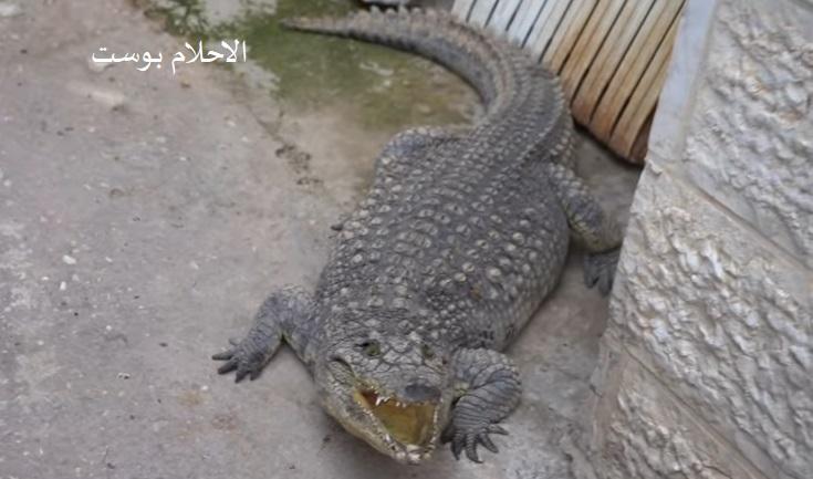 تفسير حلم التمساح