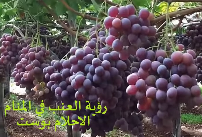 رؤية أكل العنب للحامل