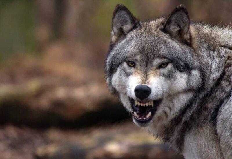 تفسير رؤية الذئب في المنام